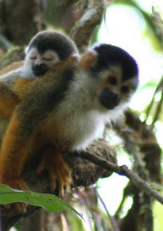 Jinetes de Osa Hotel: Spider Monkeys - taken on the day hike in Corcovado