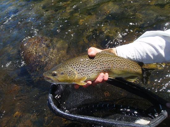 Madison Valley Ranch: brown trout