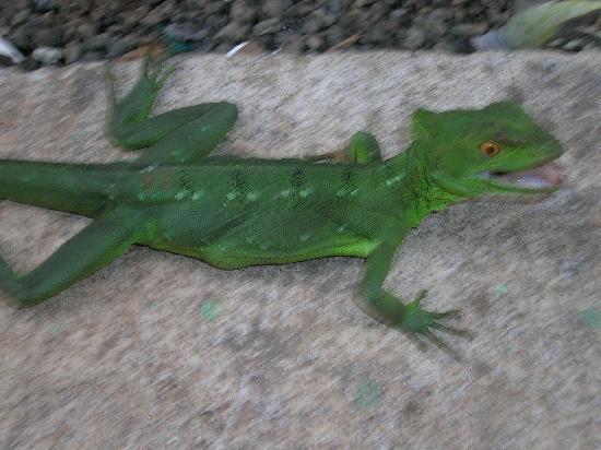 La Fortuna de San Carlos, Costa Rica: Lizard