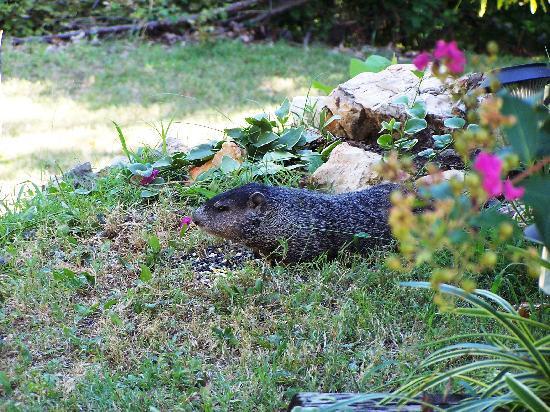 Eureka Suites : Groundhog on the motel grounds