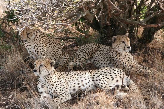 Lewa Wilderness: The three cheetah brothers