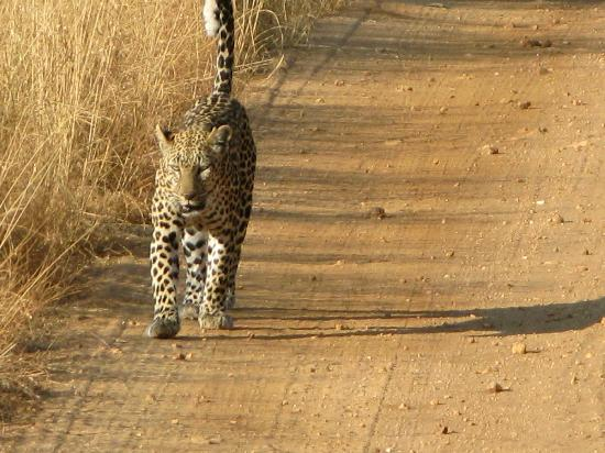 Ringo Adventure Safaris : Leopard