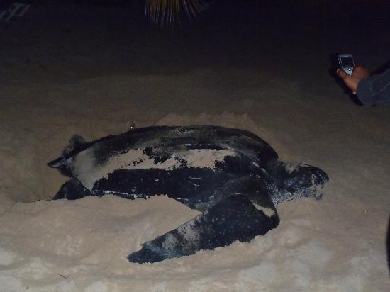 Galley Bay Resort & Spa: The magnificant sea turtle