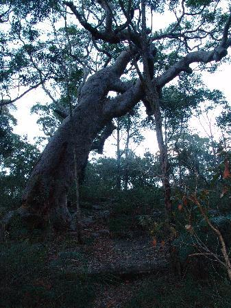 New South Wales, Australia: Mother tree near the site, off the trail