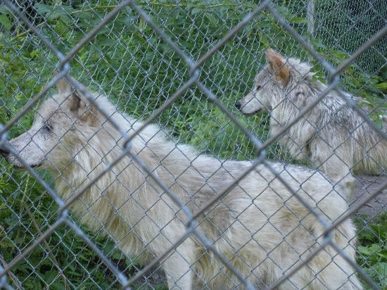 Columbia, Nueva Jersey: some of the wolves you'll have the pleasure of meeting