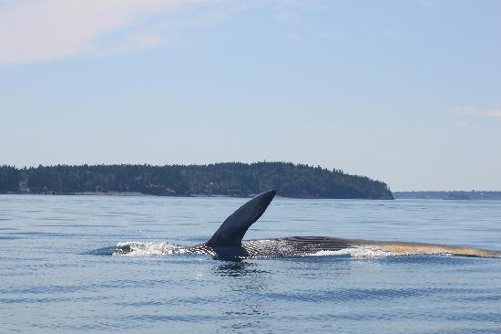Island Cruises Whalewatching: whale turning over for us, side shot fin in air