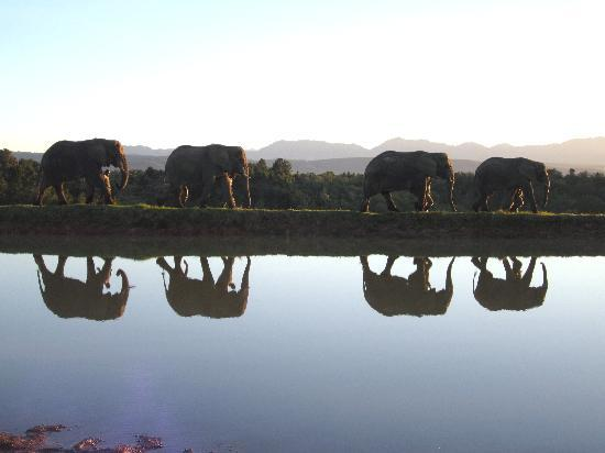 Knysna Elephant Park Lodge: out for their late afternoon stroll