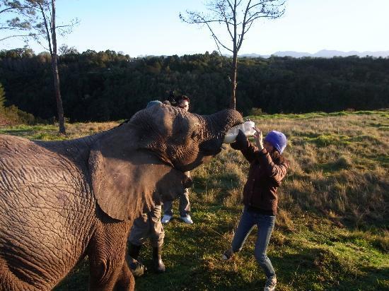 Knysna Elephant Park Lodge: feeding the baby