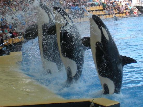 Killer Whale in Tenerife's Loro Parque Appears To Panic In ...