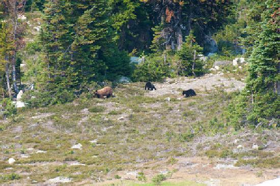 Bears on Whistler Mt
