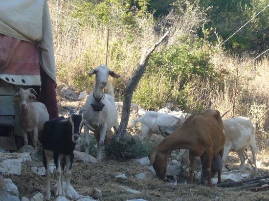 Mourtemeno Hotel: Goat family
