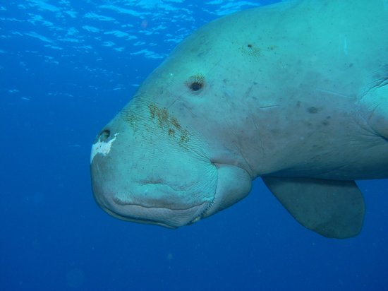 Nautilus Scuba: a friendly dugong we came across!