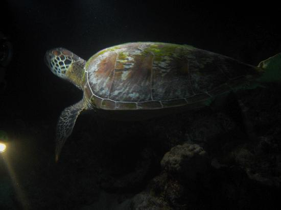 Nautilus Scuba: turtle on our night dive