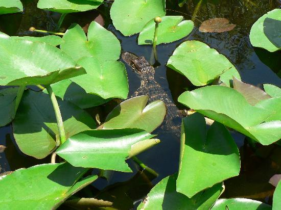 Gator Park: Un petit alligator