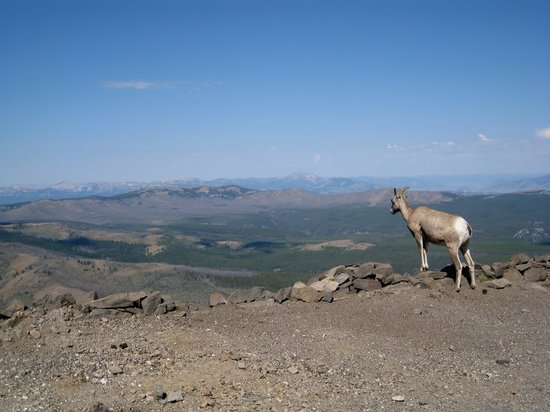 Yellowstone National Park, WY: Bighorn Sheep on Mount Washburn