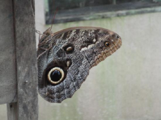 Buena Vista Lodge: blue morf butterflys