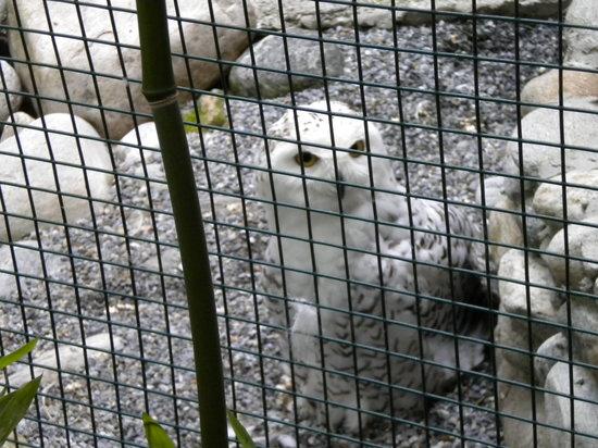 Falconeria Locarno: falco delle nevi