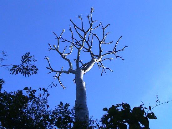 Anjajavy L'Hotel: Baobab