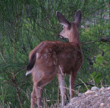Sunrise Ridge Waterfront Resort: Sunrise Ridge Resort - young deer on the property