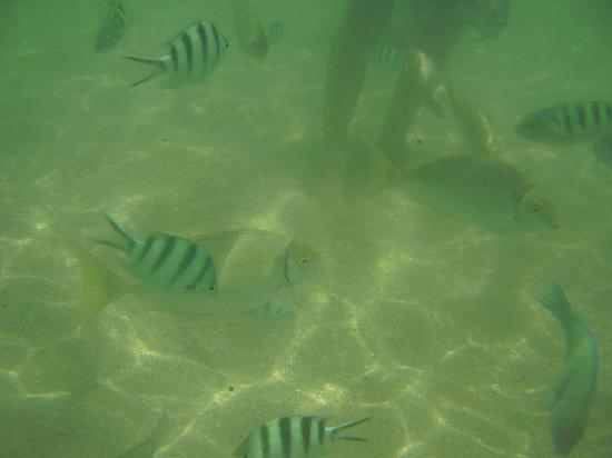 Camayan Beach Resort and Hotel: Meet the fishies at Camayan, bring some bread to feed them