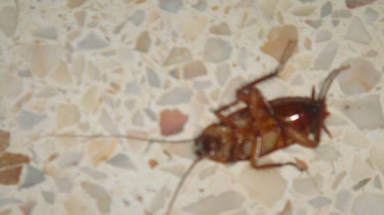Caribbean Village Agador: blatte dans une chambre