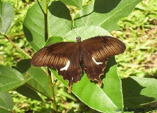Tabanan, Indonezja: Grote zwart-witte vlinder
