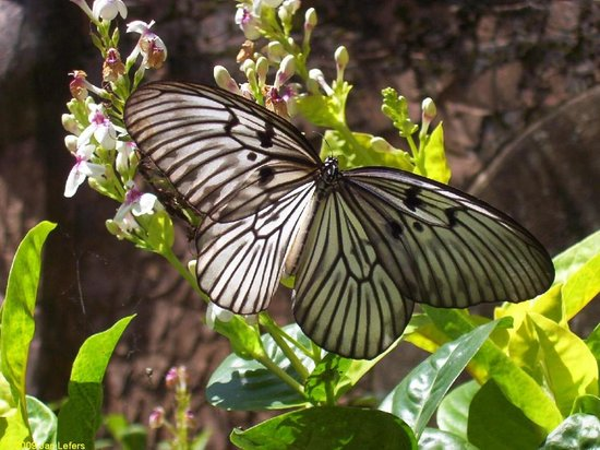 Tabanan, Indonésia: Grote vlinder