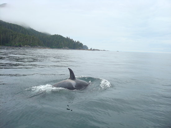 "AAA Captain Black Bart Charters : Orca checking out ""Wild Horses"" (the tour boat)"