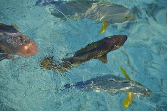 Meeru Island Resort & Spa: poissons potographiés de la terrasse
