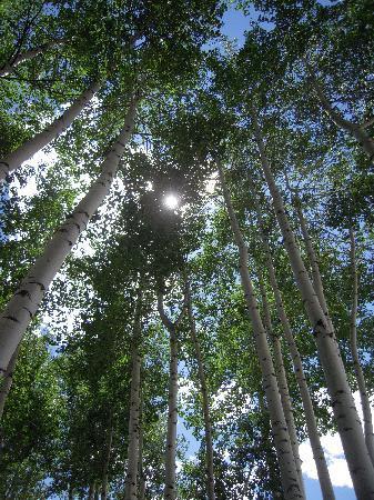 L'auberge d'Aspen: Aspen Trees