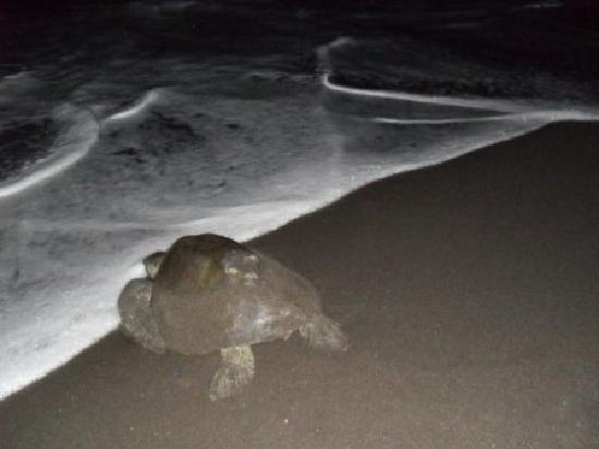 Cafe Del Sol Hotel: Sea turtle after nesting