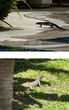 The Racha: Lézards : sortant de la piscine et dans les espaces verts de l'hôtel.