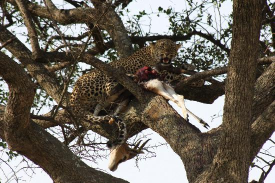 Aruba Mara Camp : Leopard with Kill in Tree