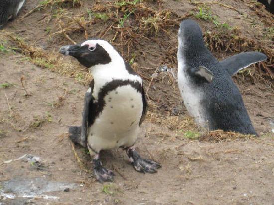 Boulders Beach: The little penguins were so adorable!