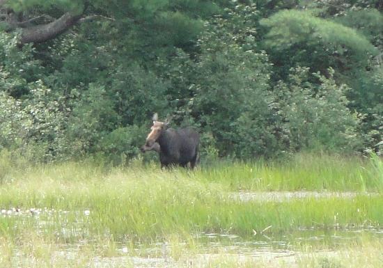 Pog Lake Campground: Moose