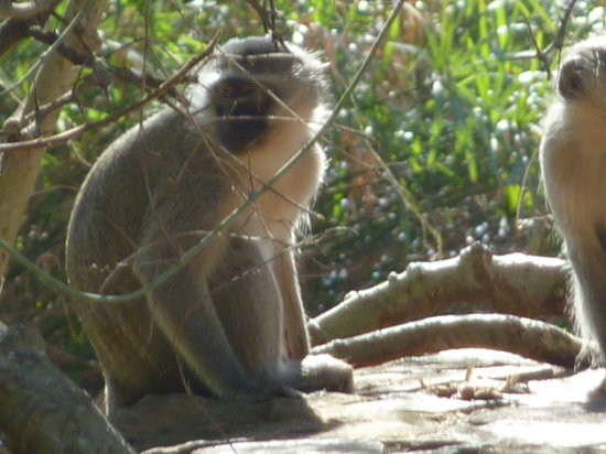 Ntwanano Tours & Travel: Mlilwane Monkey