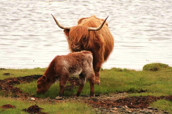 Smithy House: Highland cattle