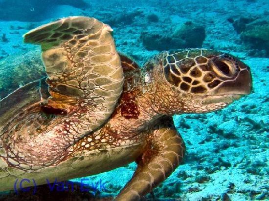 Heron Island, Australia: Turtles aplenty