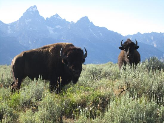 Jackson Hole Eco Tour Adventures: Bison in front of the Tetons