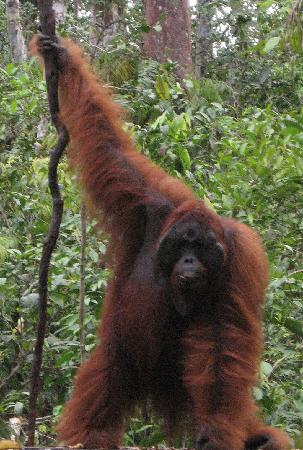 Pangkalan Bun, Endonezya: orangutan