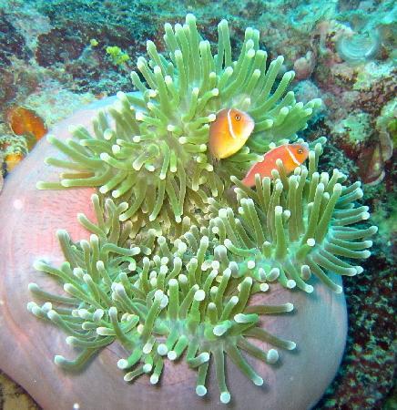 Truk Blue Lagoon Resort: Pink Anemone fish