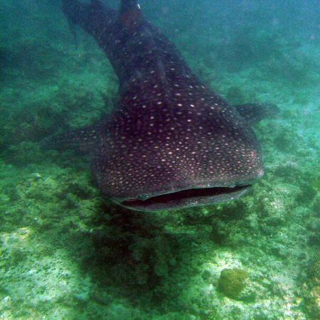 Southern Ari Atoll: Whale Shark