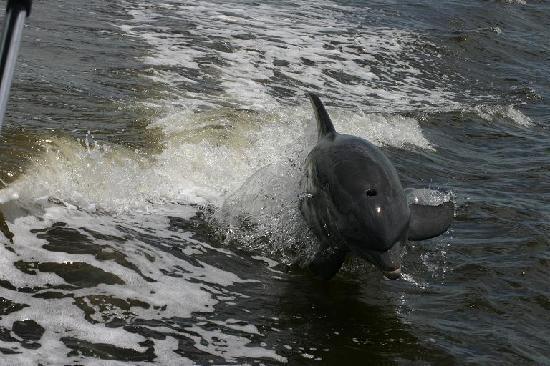 Everglades City, FL: Flipper behind the boat!
