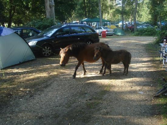 Brockenhurst, UK: horse