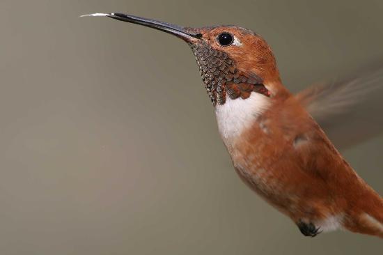 Portal Peak Lodge: Rufous Hummingbird in nearby Sunny Flats