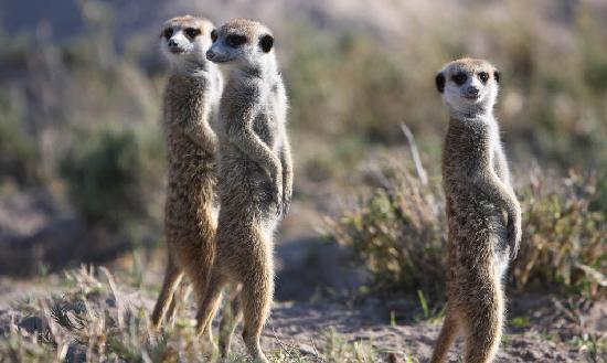 Makgadikgadi Pans National Park, Botsuana: The Meerkats