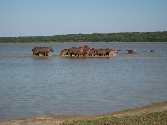 Maputo, Mozambik: hippos at Lago Xingute