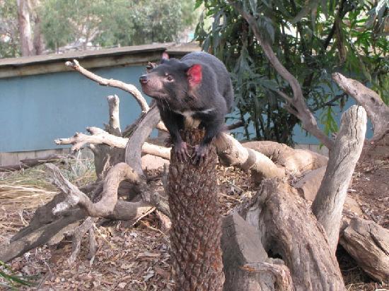 Brighton, Australia: A young Tassie devil