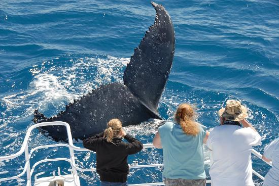 Hervey Bay, Austrália: Tail Slap - taken aboard M.V. Whalesong