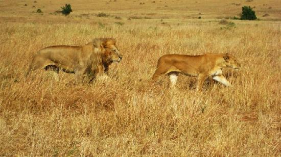 Sayari Camp, Asilia Africa: Lion and lioness off to do the business
